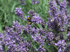 The Big Picture: A bee working hard on the lavender at Cliveden by Helen Jackson